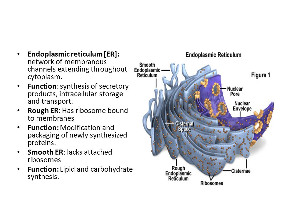 Endoplasmic reticulum [ER]: network of membranous channels extending throughout cytoplasm.